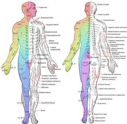 dermatoame nervi senzitivi posterior