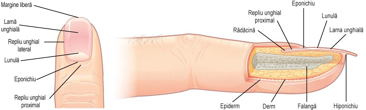 anatomie unghii sectiune deget
