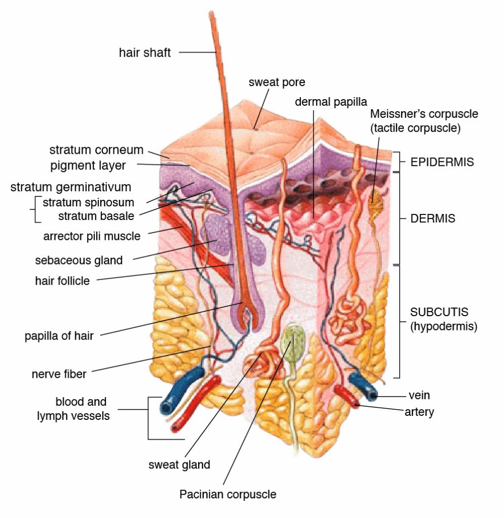 anatomia pielii - glande sudoripare